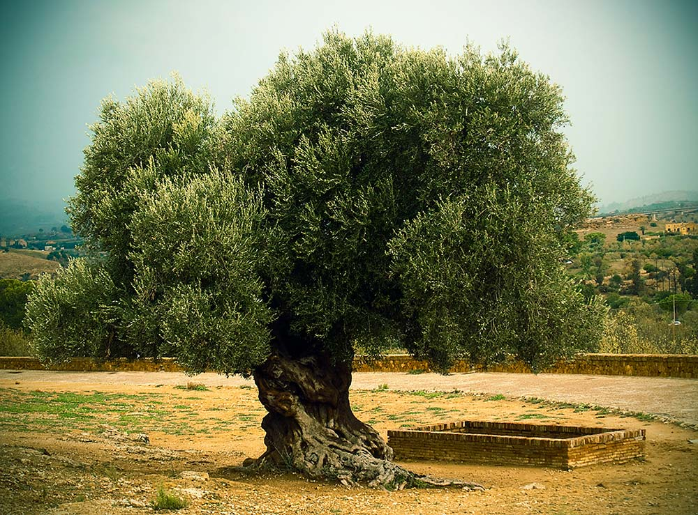 The history of olives